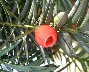 Der Becher um das Samenkorn (Arillus) ist der einzige ungiftige Pflanzenteil der Europäischen Eibe.
