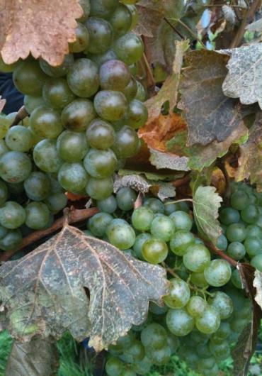 veltliner-grape
