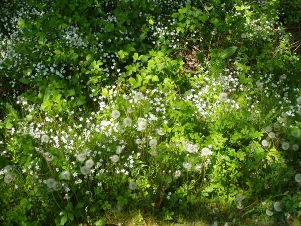 Wiesemit-Pusteblumen