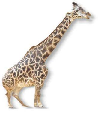 giraffe01