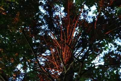 Sonneleutetbauman