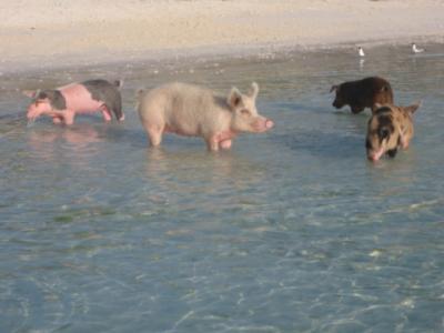 vier von etwa zwanzig Schweinen...