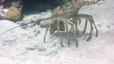 Lobster im Rückwärtsgang...