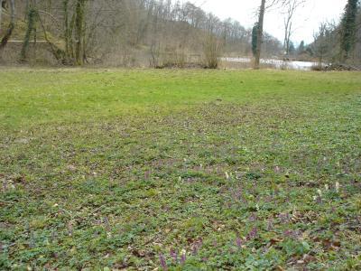 Eremitage-Arlesheim-hohlknolliger-Lerchensporn