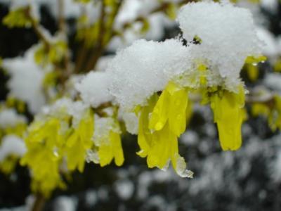Forsythia-im-Schnee