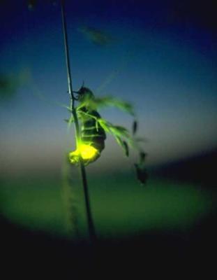 Leuchtkaefer