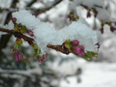 Prunus-im-Schnee