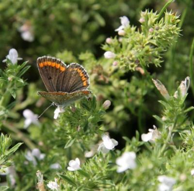 Sonnenroeschenblaeuling-auf-Bohnenkraut-Schmetterlinge-am-Goetheanum