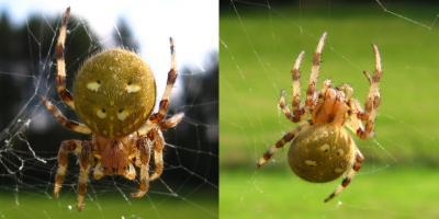 Spinnengruen