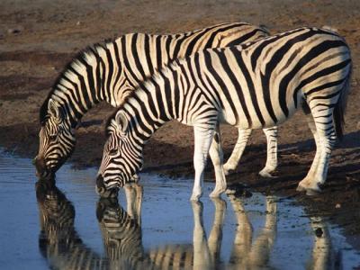 Zebras-Small-