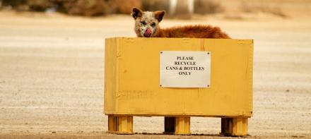 Dingo-im-Muellkontainer