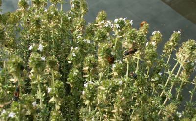 Marienkaefer und -larven;  Quelle: Wikipedia
