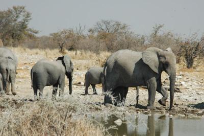elefanten in namibia (quelle: wikipedia)