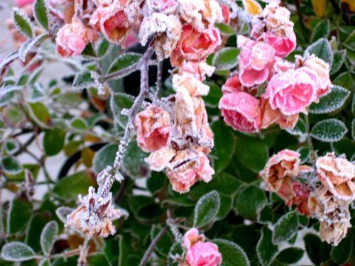 rosen reif