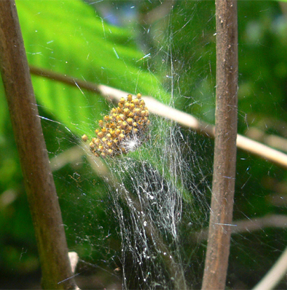 Jungspinnen der Gartenkreuzspinne Araneus diadematus