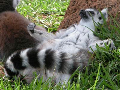 lemur_heinz