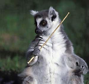 lemurendomina