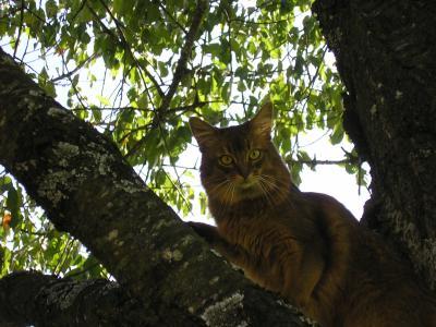 Nubi-auf-Kirschbaum