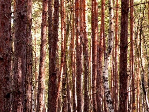 Šuma - Page 2 Im-Pfaffendorfer-Wald-bei-Beeskow