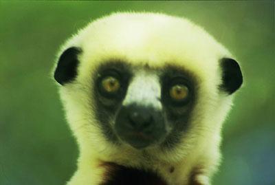 lemure, doo