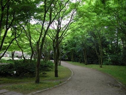 jap-Ahorn