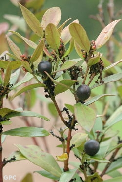 acokanthera_oblongifolia
