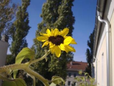 sonnenblumenherz