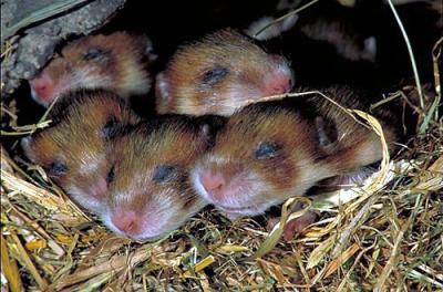 Hamster Winterstarre