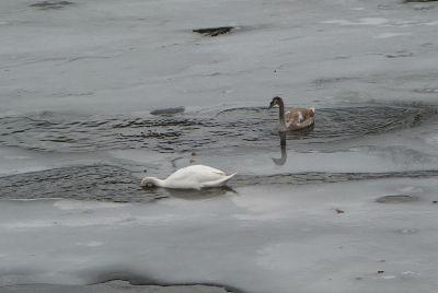 Gans beim Tauchen in Eiswasser