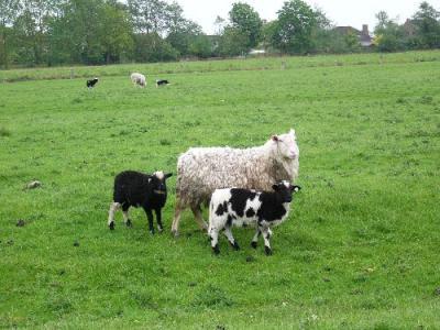 Weisses Schaf mit schwarzgefleckten Laemmern