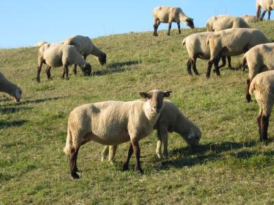 ...ich weiß nicht, woran es liegt, aber ich finde Ditzumer Schafe irgendwie ansprechender...