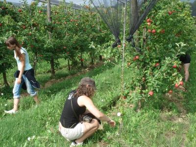 Biobauers Unkraut jäten und Äpfel essen
