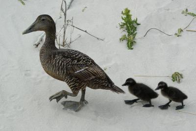 Enten: Entenmutter und Küken