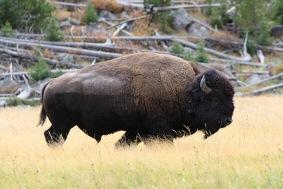 Auf Tuchfühlung mit einem Bison im Yellowstone Nationalpark.