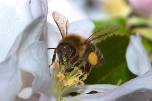 Bienchen Bienchen Gib Mir Honig