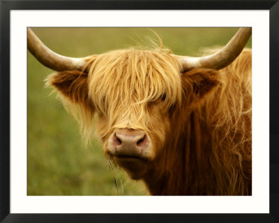 4637137-Long-Haired-Cow-Scottish-Highlands-Poster