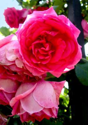 roseone