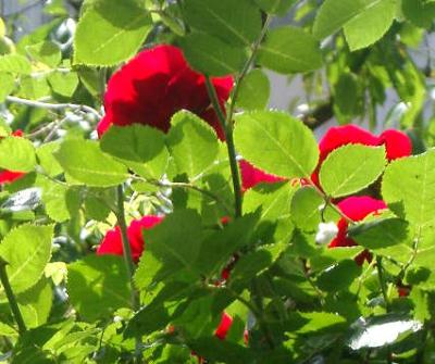 roses near basel