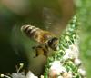 Bienchen bei Arbeit