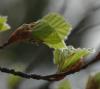 Blätterknospen