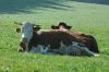 Kuh des Nachbarn