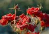 Frierende Rose