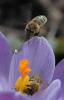 Bienen im Frühling
