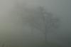 Kirschbäume im Nebel