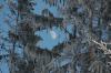 Mond und Tannen