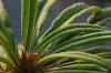 Morgentau auf Palme