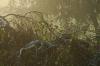Birke am Morgen
