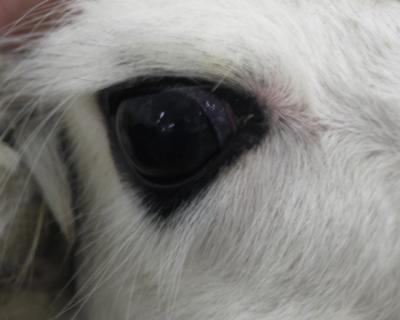 Alpaka-Auge