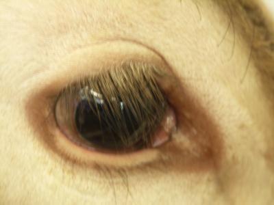Auge-vom-Kalb-mit-Muskelschwund