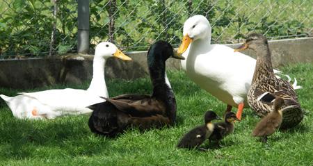 Beratung-unter-Entenfamilie-und-Gaense-